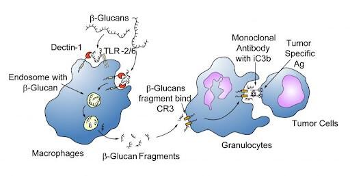 Quá trình đại thực bào tế bào K do Betaglucan