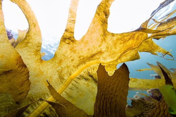 Fucoidan chiết xuất từ tảo nâu
